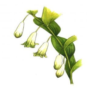 Solomon's Seal Extract